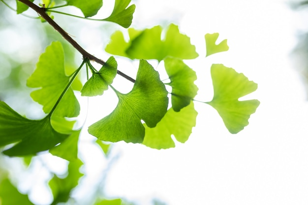 Brightly green leaves of ginkgo biloba against a background of blurry foliage herbal