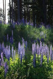 森の近くの空き地に鮮やかな紫のルピナスの花が咲きます。
