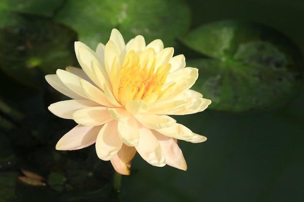 Brightly yellow lotus