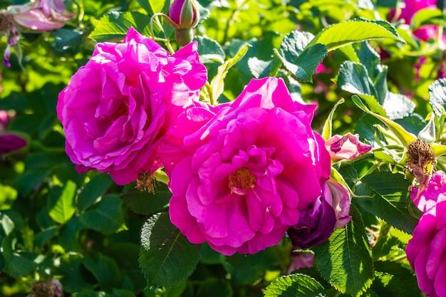 Блестящие малиново-розовые нокаут-розы в небольшом саду