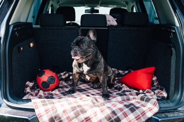 Brindle french bulldog sitting in the trunk of a car on a plaid with a red ball and a pill