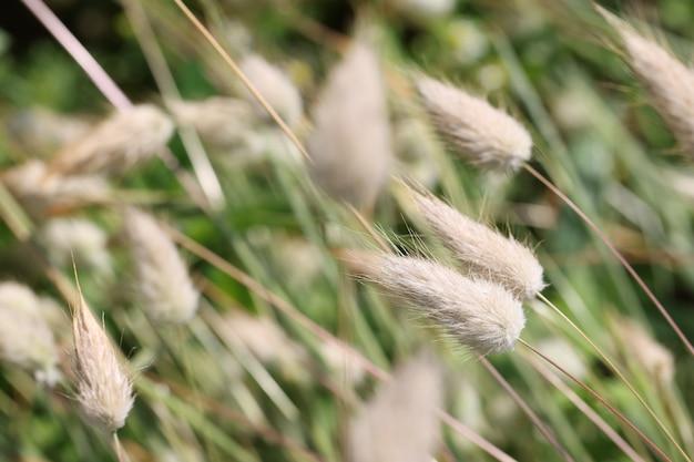 정원 근접 촬영 배경에서 자라는 강모 풀은 마른 꽃다발 개념을 위해 꽃을 재배합니다.