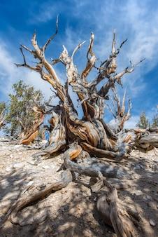 Bristlecone pine 화창한 날에 세계에서 가장 오래된 나무