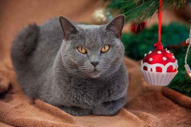 Британский кот с рождественским кексом
