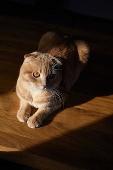 英国の猫は家で日光の下で木製のテーブルに横たわっています。テキスト用のスペース、ハードライト。国内のペットライフ。
