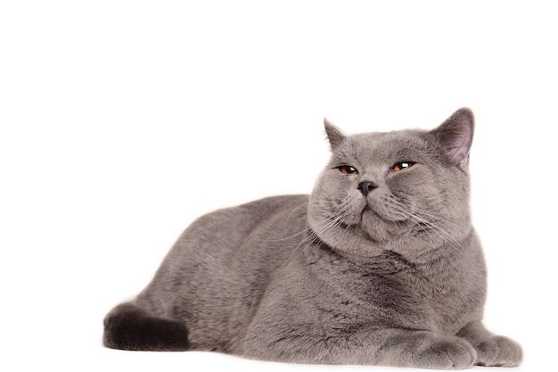Британский кот лежит