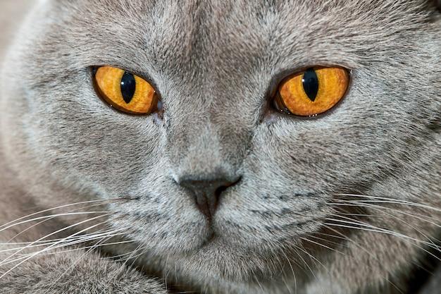 イギリスの猫の肖像画。クローズアップ、セレクティブフォーカス。