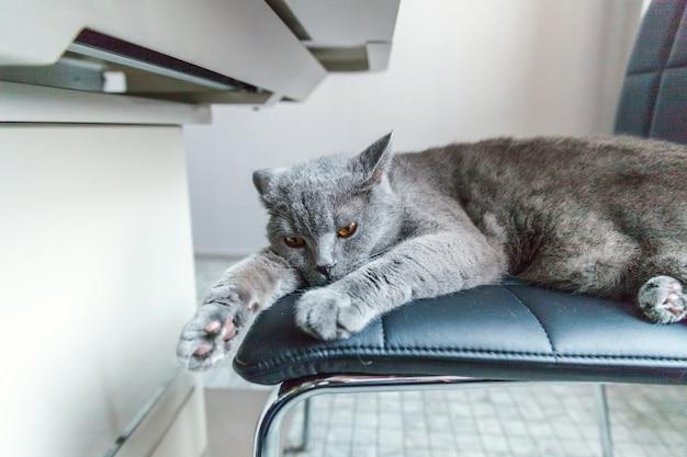 自宅の屋内黒のモダンな椅子で寝ているイギリスの猫