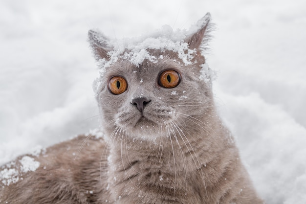 British cat with big yellow eyes in winter snow