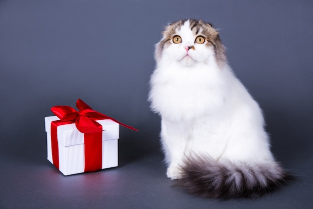 British cat with gift box over grey background