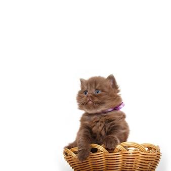 British chocolate kitten