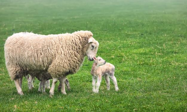 신생아 양고기와 함께 영국 국내 양은 여름 녹색 초원에 머물러 있습니다. 영국