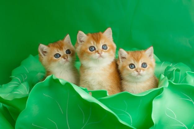 Котенок британской золотой шиншиллы в большой зеленой капусте