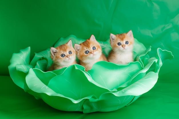 큰 녹색 양배추에 영국 황금 친칠라 고양이