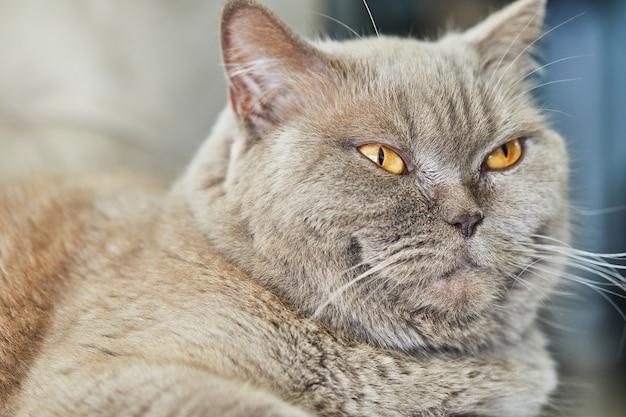 Британский серый кот сидит на диване, крупный план.