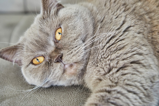 Британский серый кот лежит на диване, крупный план.