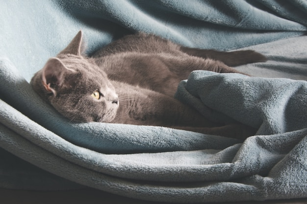 British gray cat resting on cozy blue pled couch in home interior. close up.