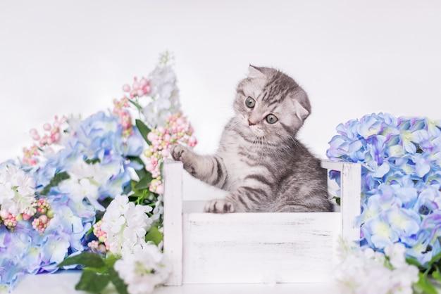 Британский серый котенок сидит в коробке с цветами на белом фоне. шотландская вислоухая кошка смотрит вверх и подпрыгивает.