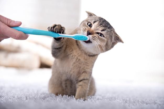 Британский котенок и зубная щетка. кот чистит зубы