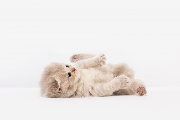 British kitten lies on its back and plays