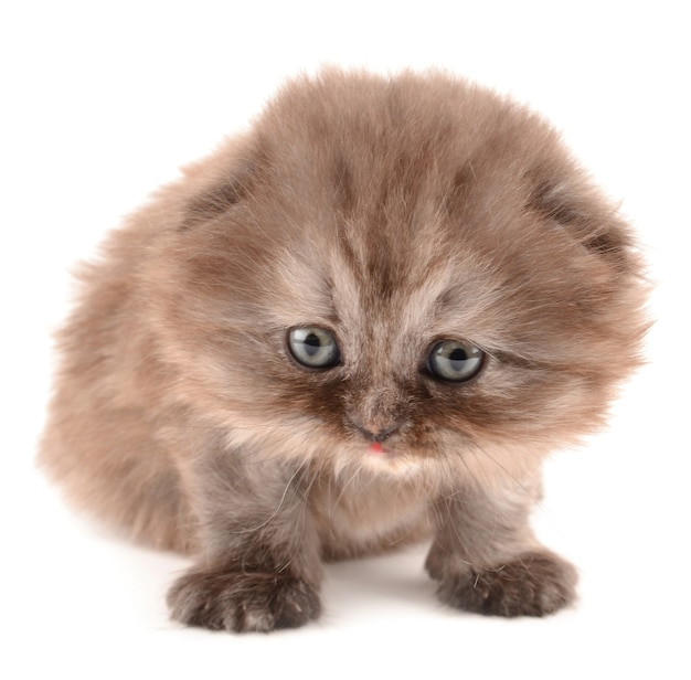 영국 고양이