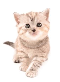 영국 고양이 프리미엄 사진