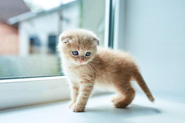 窓の近くの家にいるイギリスの小さな遊び心のある子猫、スコットランドの子猫、面白い赤毛の猫。