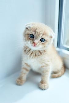 家の窓の近くでイギリスの少し遊び心のある子猫