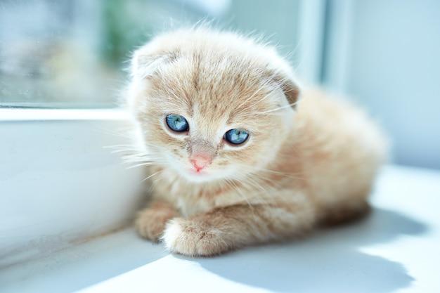 窓の近くの家にいるイギリスの小さな遊び心のある子猫