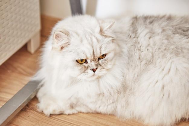 영국 장발 흰 고양이가 쪽모이 세공 마루 바닥에 집에 앉아 있습니다.