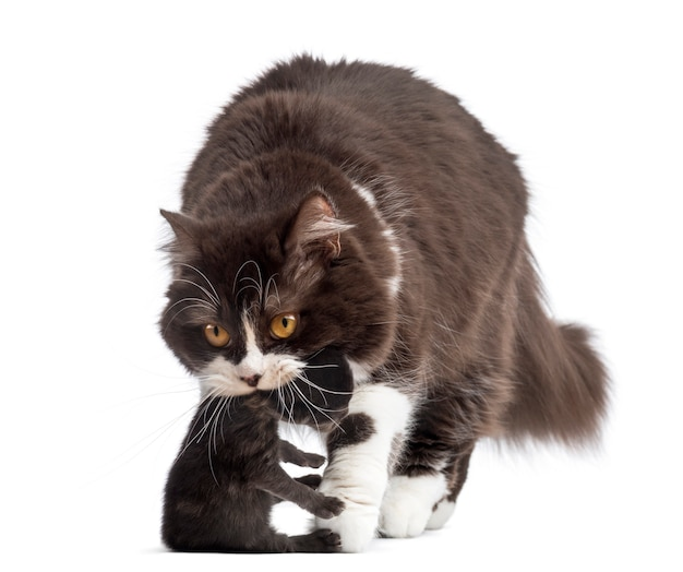 British longhair carrying a kitten isolated on white