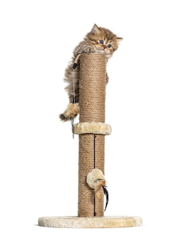 British longhair cat playiong on a cat trees