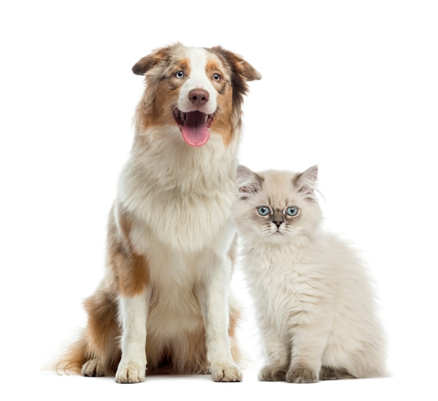 British longhair kitten and australian shepherd sitting next to each other isolated on white