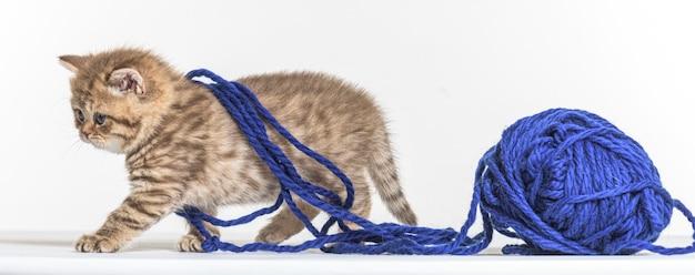 ホワイトペーパーの背景にイギリスの長髪子猫
