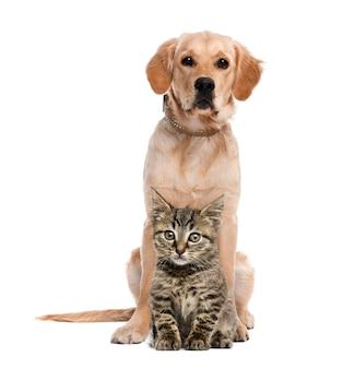 ゴールデン・リトリーバーの前に座っているイギリスのロングヘア子猫
