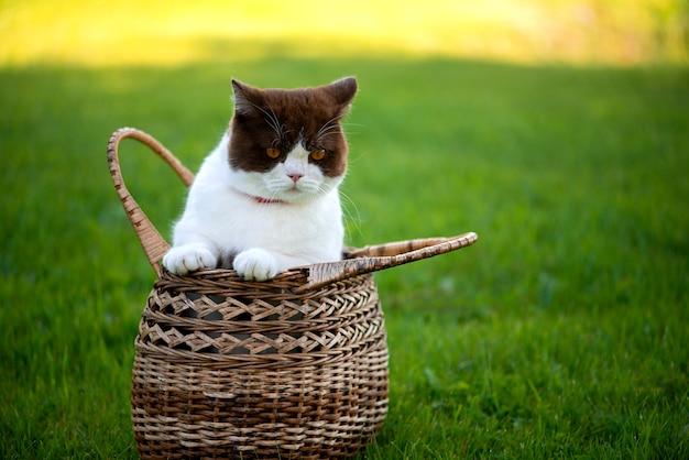 ブリティッシュショートヘアの猫は緑の芝生の枝編み細工品バスケットに座っています。