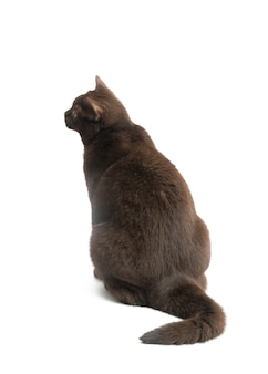 British short hair cat isolated on white surface.