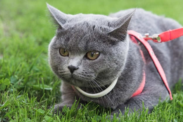 British short hair cat wearing white collar outdoors on grass.