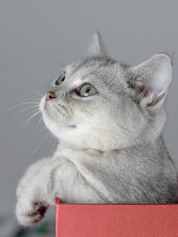 英国の短い銀のグラデーション猫
