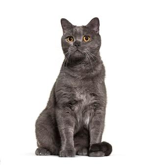 Британская короткошерстная кошка, 4 года, на белом фоне