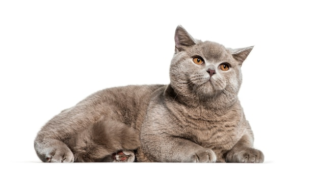 British shorthair, 6 months old, lying in front of white surface