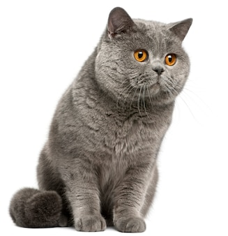 ブリティッシュショートヘアの猫、2歳、