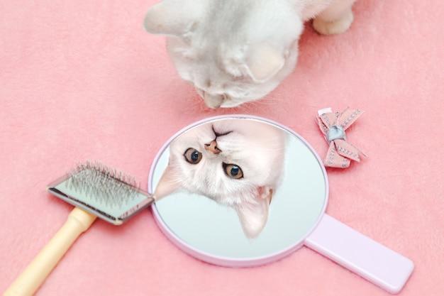 ブリティッシュショートヘアの猫は、鏡に映った自分の姿を賞賛しています。ブラシと弓が付いた素敵なくびき。ピンクの背景、ユーモア。動物の美しさの概念。
