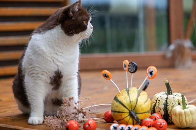 Британский короткошерстный кот и украшения на хэллоуин с тыквами и конфетами на деревянной террасе дома