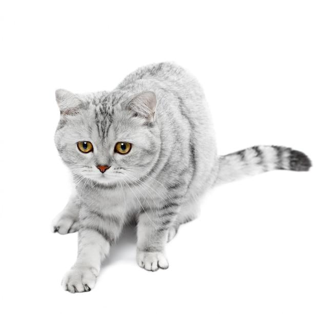 分離されたブリティッシュショートヘアの猫灰色の縞模様のチンチラ