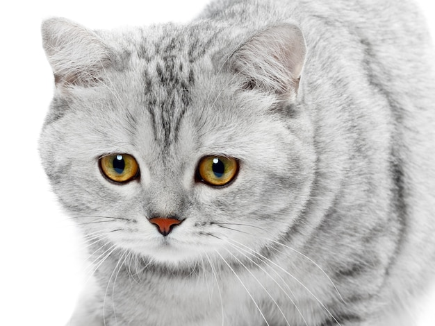 British shorthair cat gray striped chinchilla isolated
