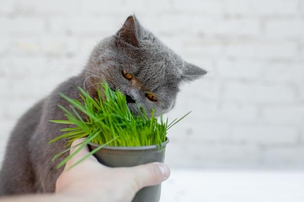 Британская короткошерстная кошка питается полезной, богатой витаминами травой в горшочке из зоомагазина.