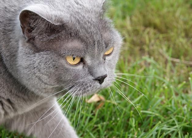 British shorthair cat hunts on green grass