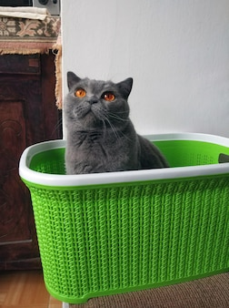 바구니에 담긴 영국 쇼트헤어 고양이
