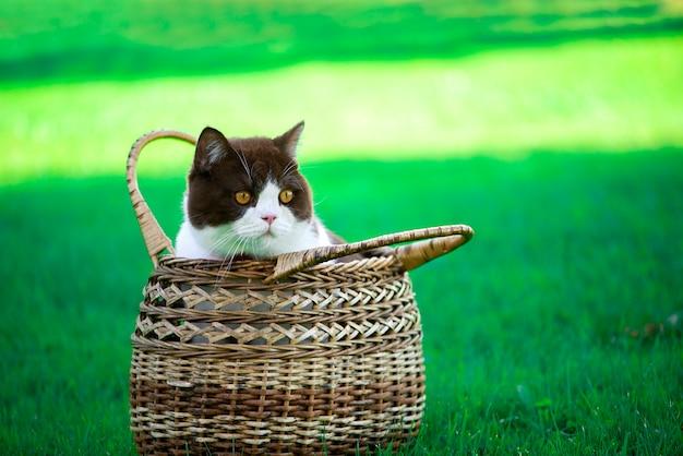 ブリティッシュショートヘアの猫は緑の草の枝編み細工品バスケットに座っています。